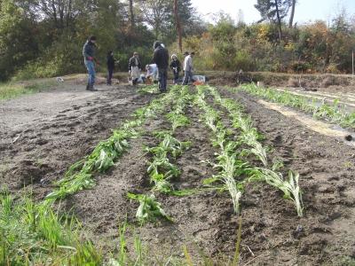壬生菜、野沢菜の定植状況