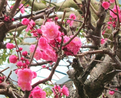 参集殿庭園の紅梅