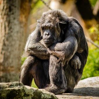 chimpanzee-978809__340.jpg