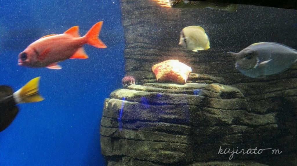 ワイキキ水族館で見つけた、クッションみたいなヒトデ