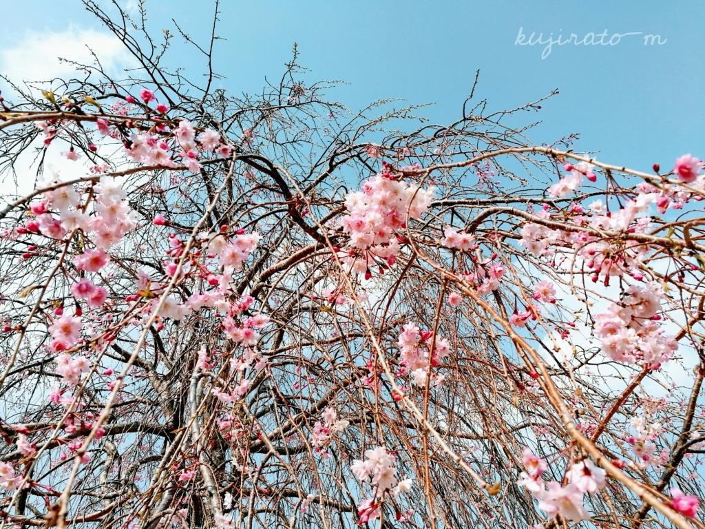 伊勢、しだれ桜のアップ写真