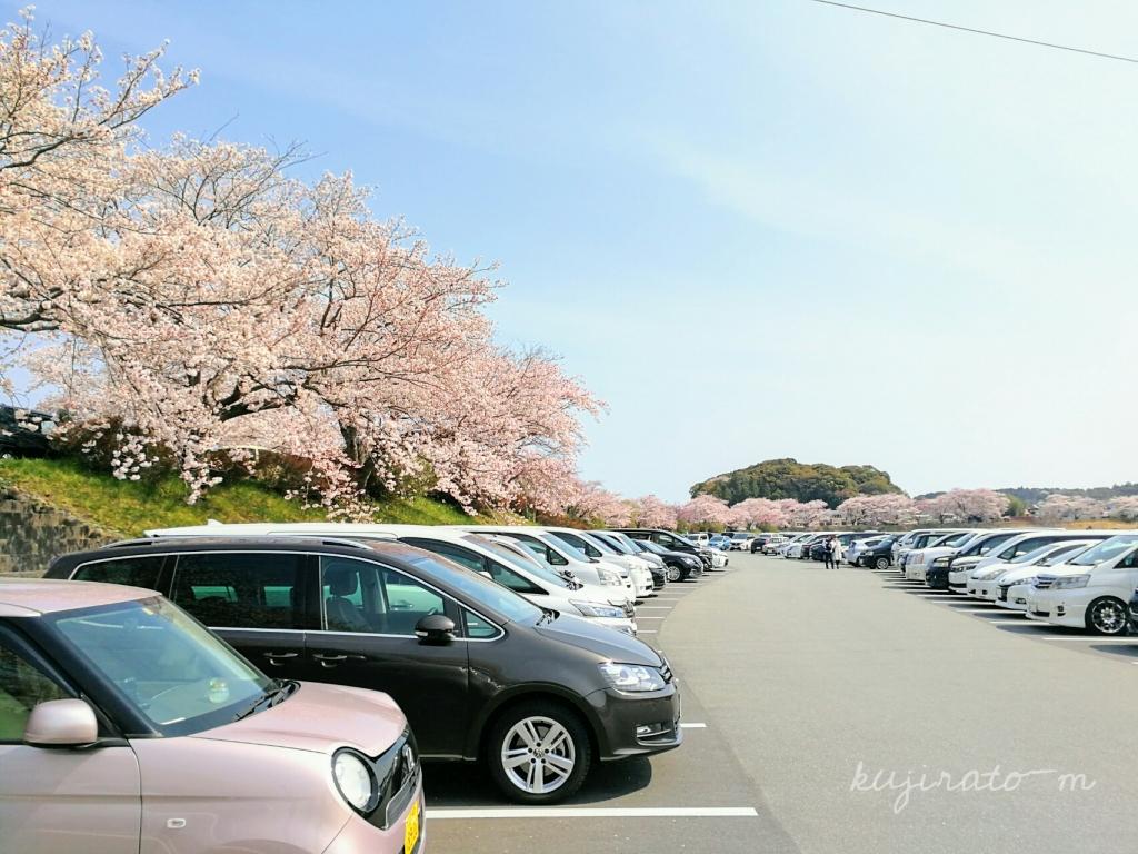 伊勢神宮の駐車場が、桜満開!圧巻の絶景です