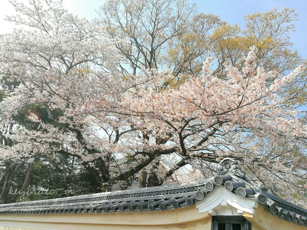 伊勢神宮に向かう途中の、奇麗な桜
