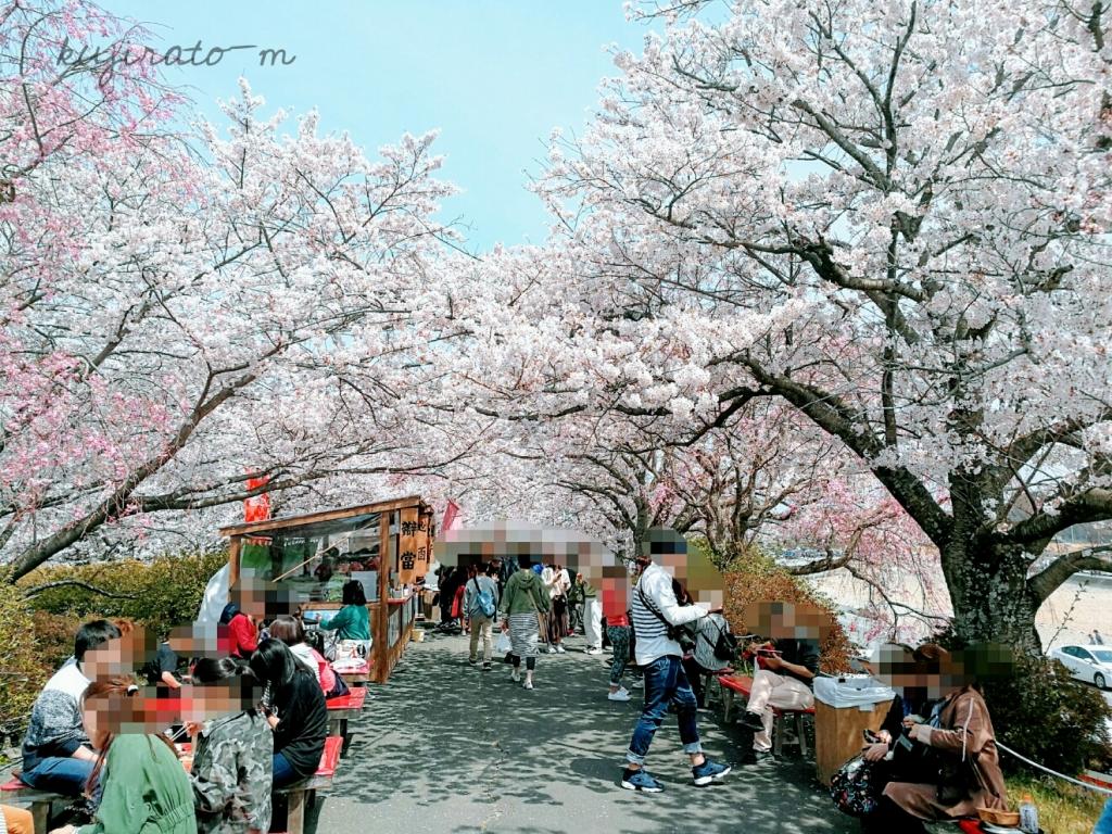 伊勢神宮、桜が本当に満開で、とてもきれい!