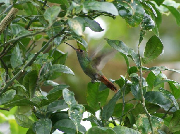 APROVACAの裏庭で捉えたハチドリの姿