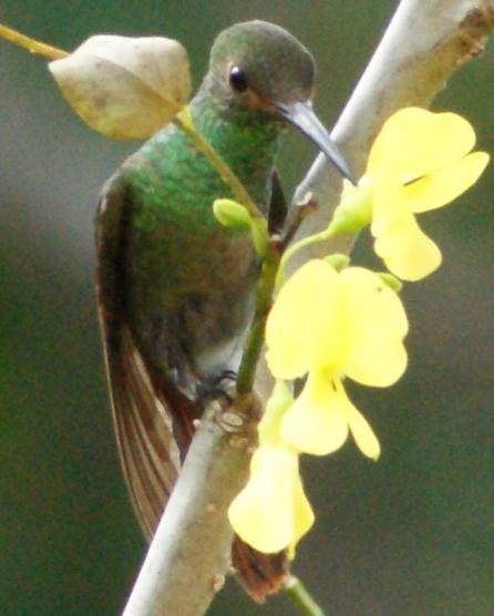 マッカーノの花の蜜を吸うハチドリ
