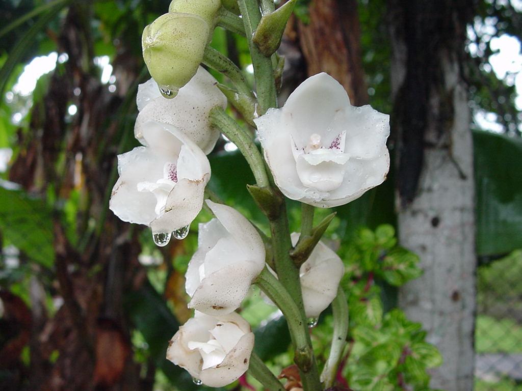 パナマ国花