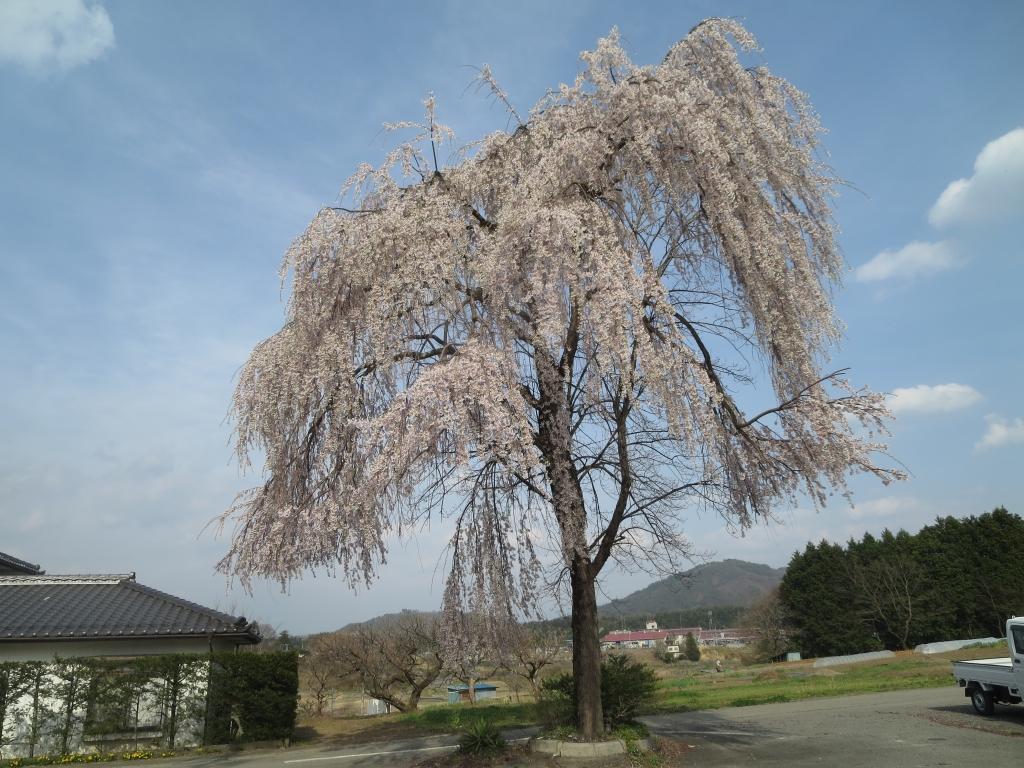 しだれ桜とはなのき