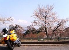 まだ桜が満開でした!