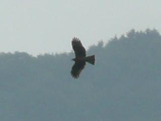 円良田湖上空でトンビが旋回していました。 (^^