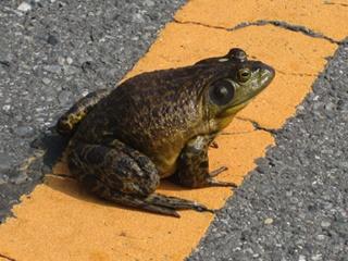 大きなカエルでびっくりしました。 (>_<)