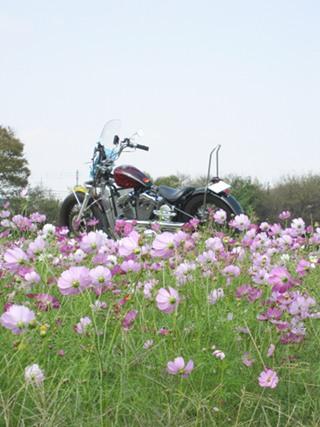 秋桜がキレイに咲いています。 (^-^)