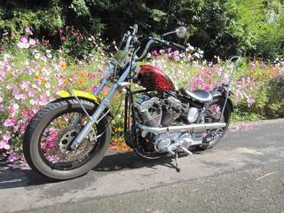 格好良いバイクにキレイな秋桜 (^-^)