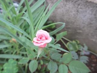 ミニバラの二つ目の蕾が咲きそうです! (^-^)