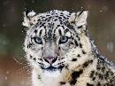 雪豹.png