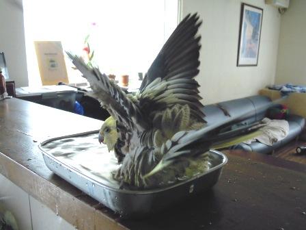 水浴びの時は全部の羽を逆立てるのよ!