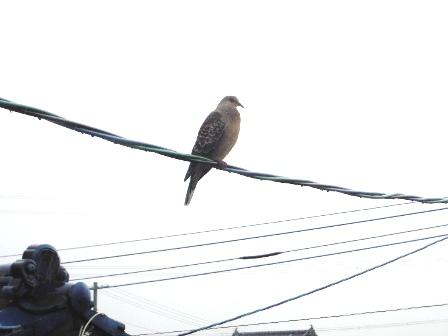 土砂降りに耐える鳩さん・・・。