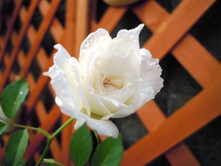 可憐なバラが咲きました♪