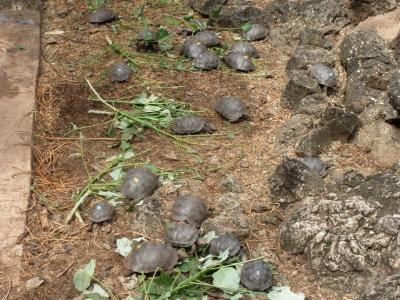 ゾウガメの繁殖場