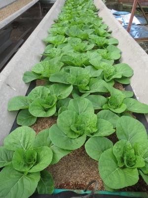 順調に育つ白菜