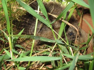 フクロウの赤ちゃん1