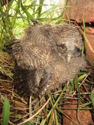 フクロウの赤ちゃん