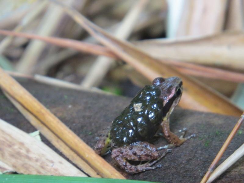 ボタニコの蛙