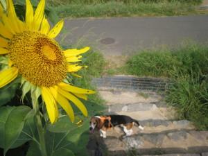 向日葵とチョビ