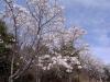 サクラの花も8分咲きぐらいで