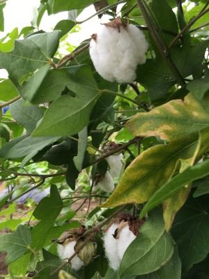2016棉たくさん