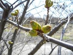 桜花の蕾(4月30日)