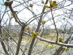 桜花の蕾達(4月30日)