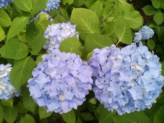 07の紫陽花