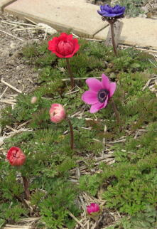 アネモネ花