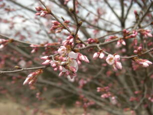 2009年桜1