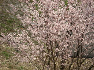 2009年桜2