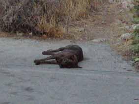 死に犬現象