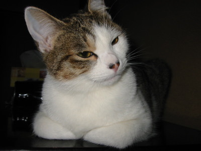 見つめる猫1