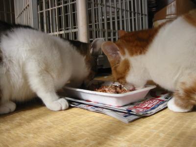 カリカリを食べる猫