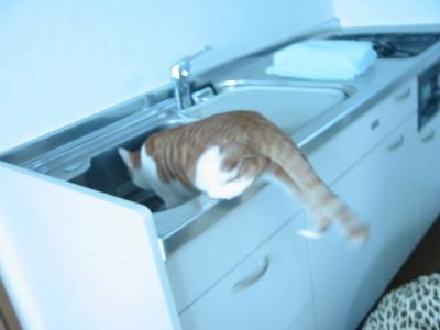 流し台に入る猫
