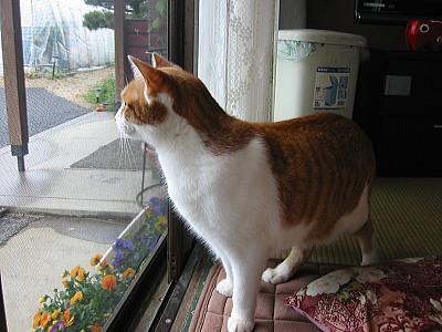 外を見つめる猫ロイ