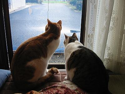 兄妹猫が外を見つめる
