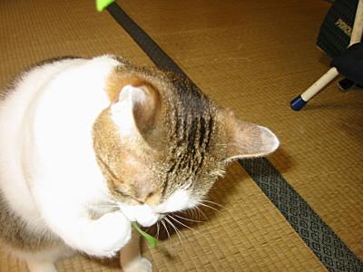 猫草をじょうずに食べる猫モモ