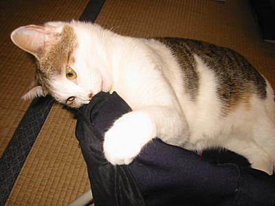 ズボンにかみつく猫、モモ