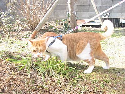 猫草に立ち止まるロイ