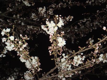 100327夜桜01
