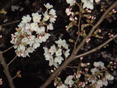 100327夜桜02