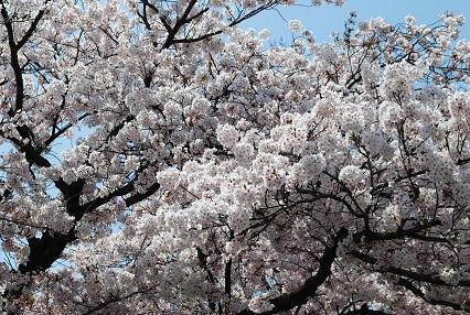 110410桜01