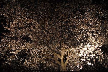 120402桜06