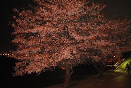 120402桜11